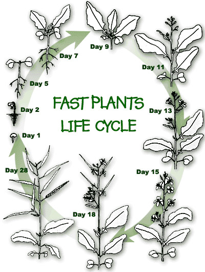 Fast Plantstm Fast Plant Life Cycle