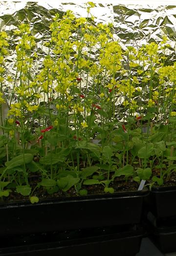 Fast Plants Tm    Fast Plant Life Cycle